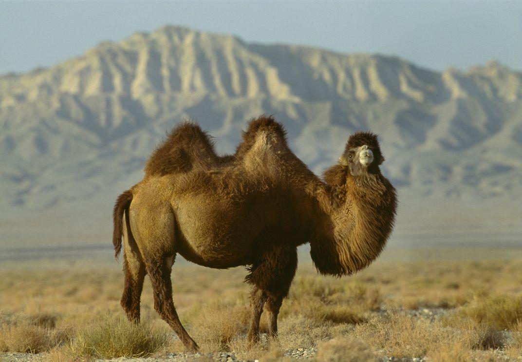 Why the Alpaca Has No Humps