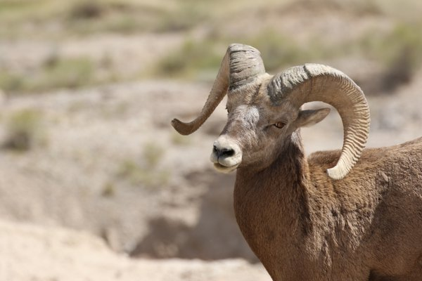 Big Horn in Badlands thumbnail