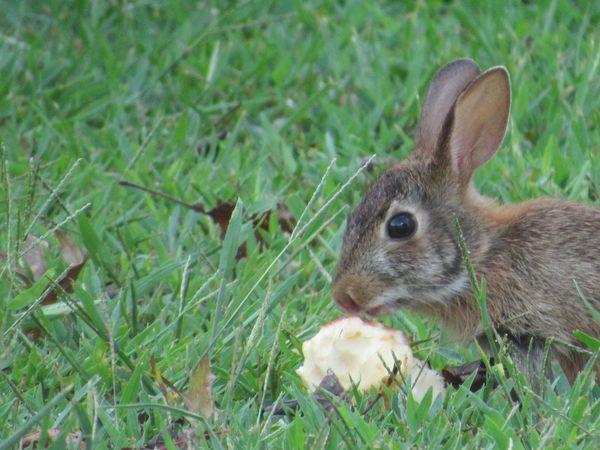 Backyard bunny eating an apple thumbnail