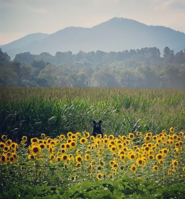 Bear in the sunflowers  thumbnail