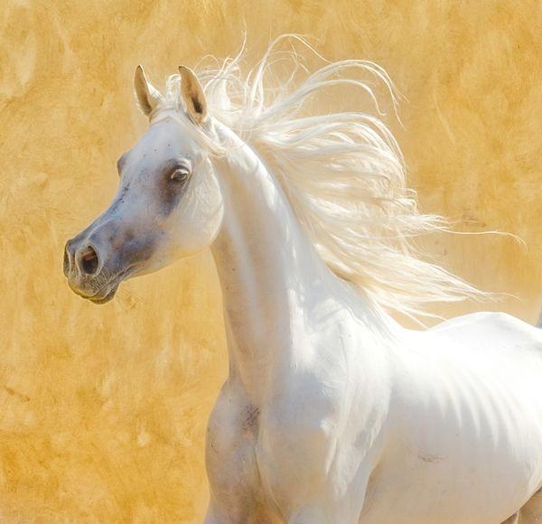 Egyption Horse thumbnail
