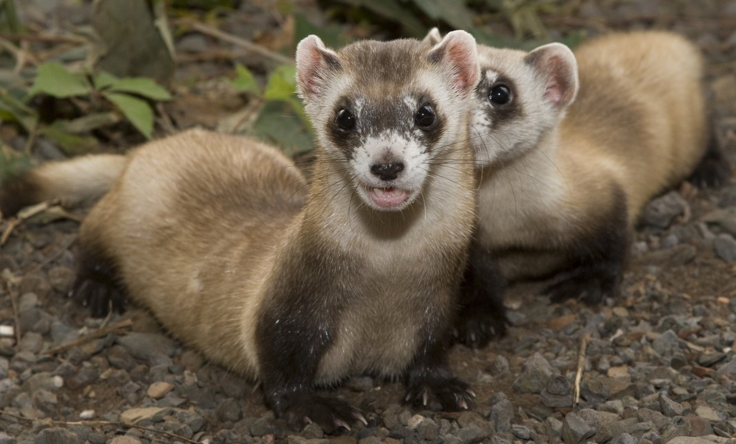 Two black-footed ferrets with slender bodies, small feet, and tan and black fur