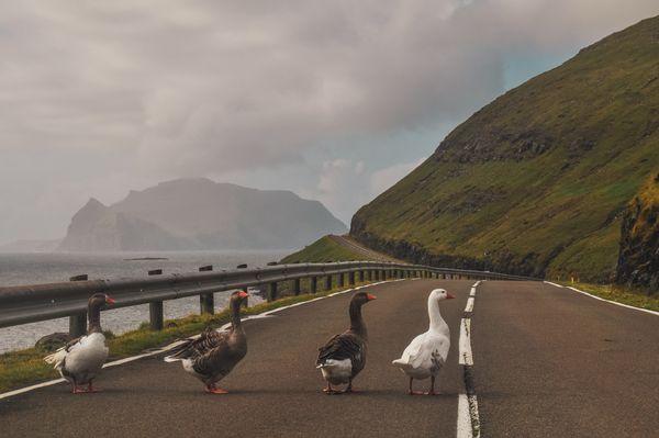 Beatles-geese thumbnail