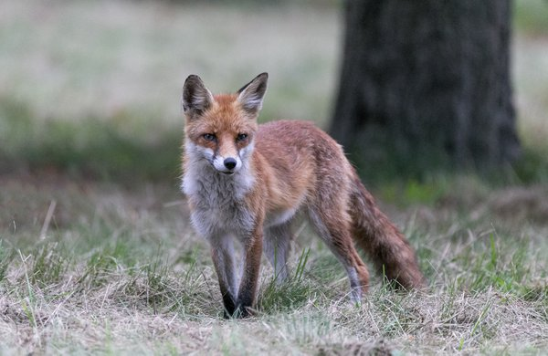 Waiting red fox in the park thumbnail