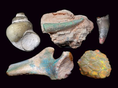 Opalised fossils from Lightning Ridge, N.S.W, Australia. From the collection of the Australian Opal Center. Clockwise from top left: freshwater snail; plesiosaur tooth; crocodile tooth; pine cone; pelvis bone of ornithopod dinosaur. Donated through the Australian Government's Cultural Gifts Program by (respectively) Down to Earth Opals, Timothy Seekamp, Stephen Turner and Michael Poben.