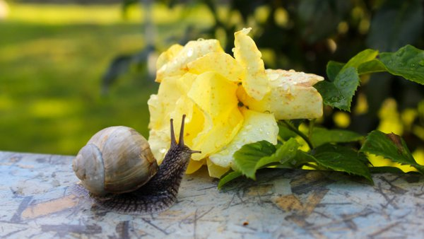 Big snail and yellow rose after rain in the garden. thumbnail