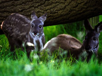 A Siberian musk deer two-month old stands next to his father at the Edinburgh zoo — they are closely related to the species just spotted