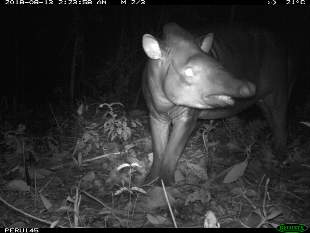 A tapir (Tapirus terrestris) caught on camera in Peru's Amazonian rainforest.