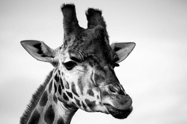 Black and White Giraffe thumbnail