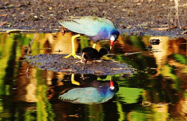 Early Morning Purple Gallinules! thumbnail