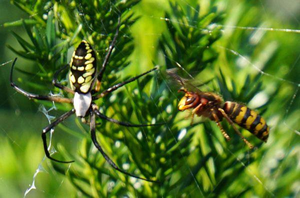 Garden Spider Hornet thumbnail