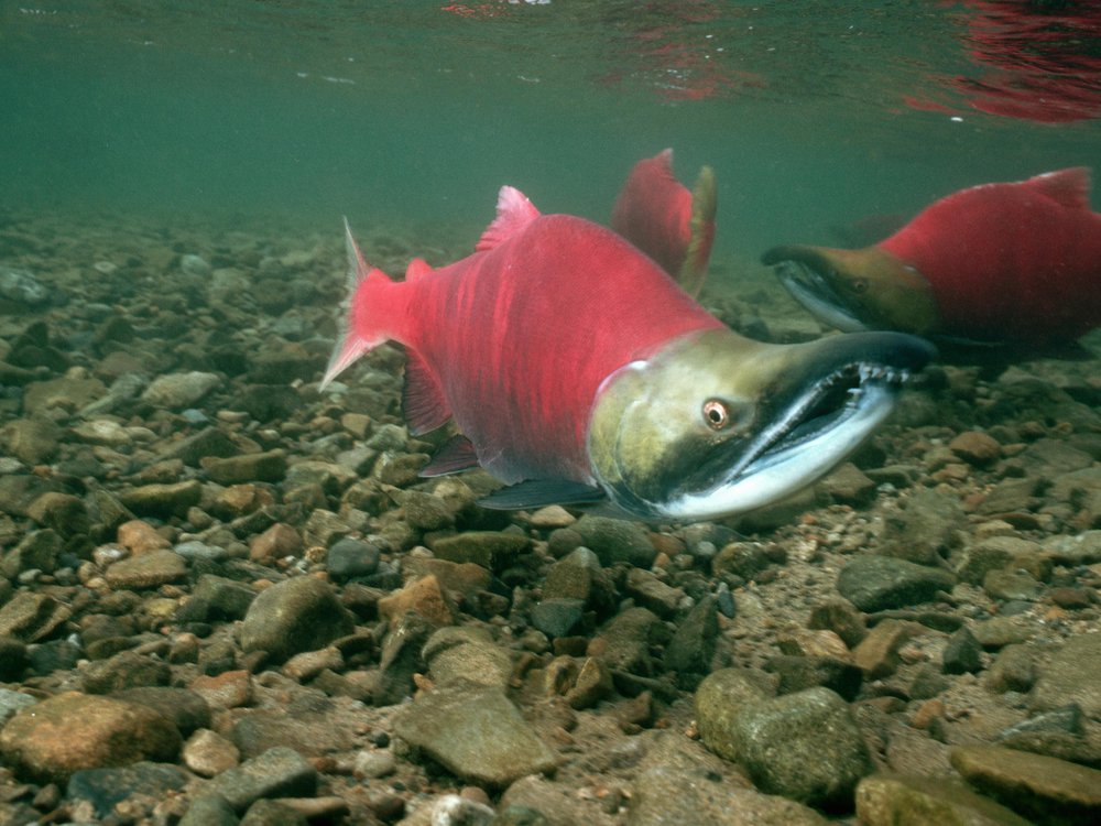 Salmon NF003289.jpg
