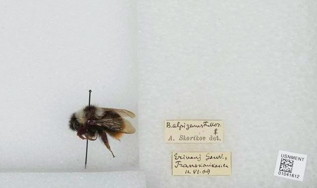 A bee pinned to styrofoam with two labels indicating where it was collected and by whom.