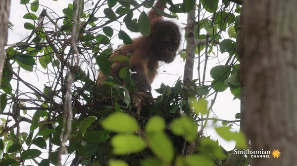 Preview thumbnail for These Orphan Orangutans Are Learning to Build Nests