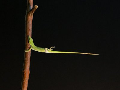 An anole lizard holding on to a perch by its toepads during simulated hurricane-force winds.