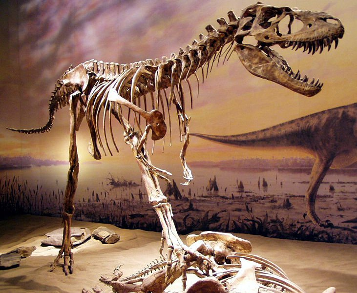 20110520083236Albertosaurus-Tyrrell-museum.jpg