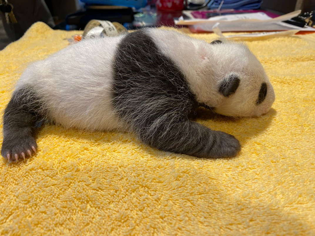 A 29-day-old giant panda cub rests on a yellow towel during its first veterinary exam. The cub is small with black-and-white markings, closed eyes, tiny claws and a thin layer of fur.
