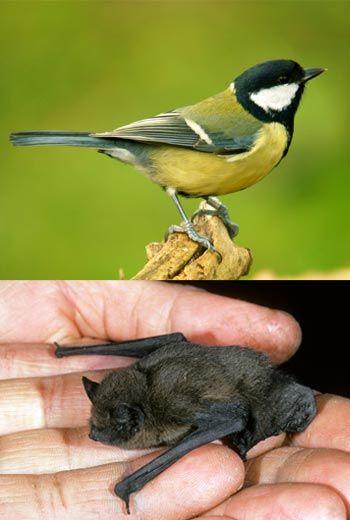 great tit songbird / bat