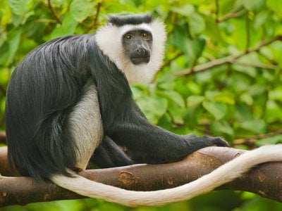 Scientists looked for the black-and-white colubus monkey in protected areas across the Ivory Coast but only found one population of the animals still living in a sacred grove.