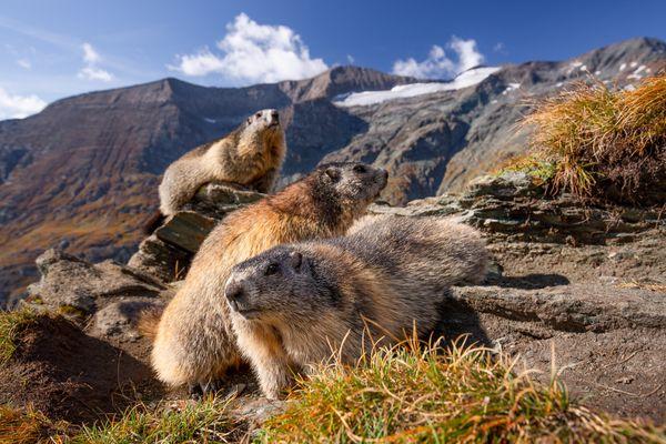 Alpine Marmots thumbnail