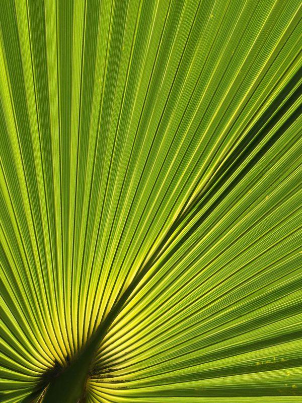 Fan Palm Leaf Pattern thumbnail