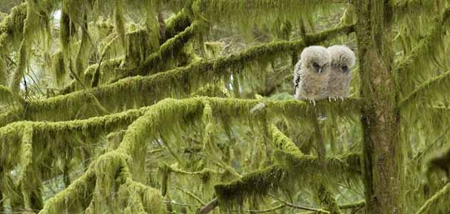 Three week old spotted owl hatchlings