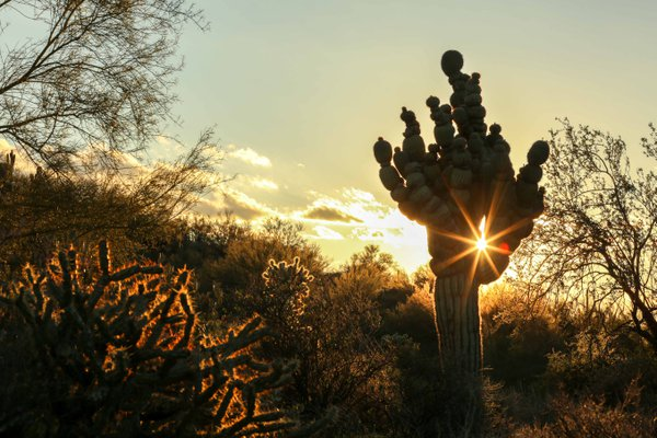 Segmented Saguaro with lens flare thumbnail