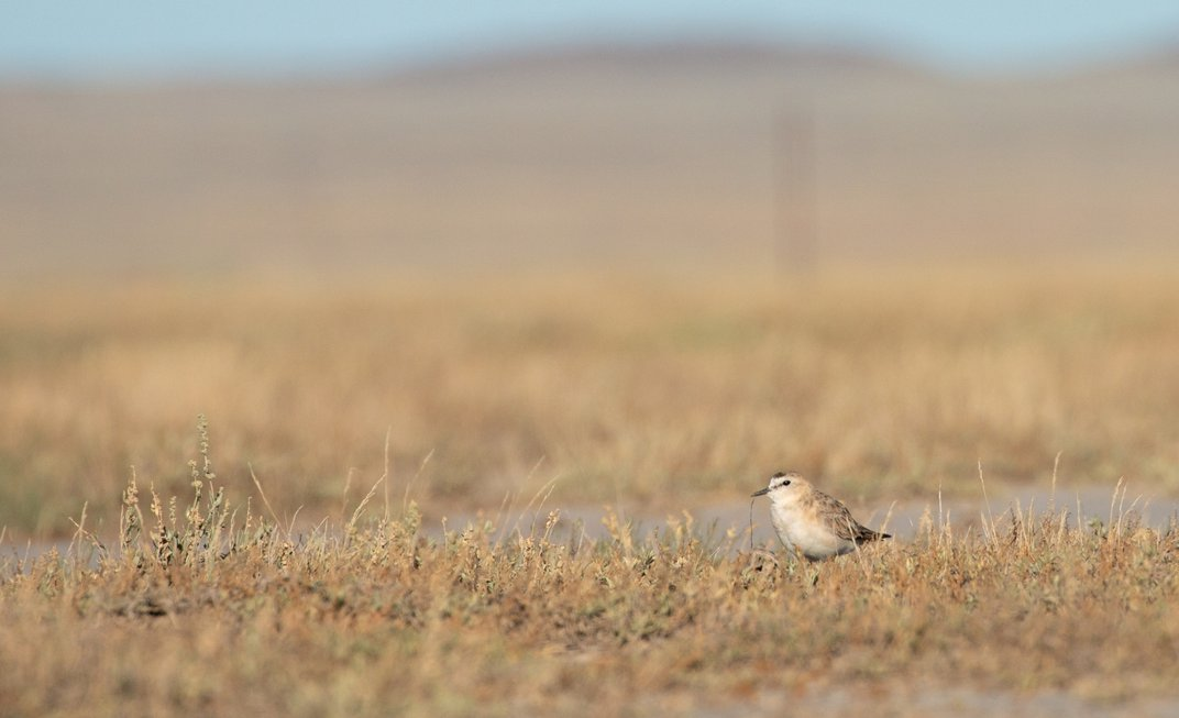 A small bird, called a mountain plover, stands among short grasses on Montana's prairie.