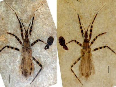 The fossil of Aphelicophontes danjuddi, a new genus and species of assassin bug, accompanied by the fossil of a small beetle