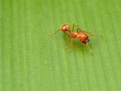The tropical fire ant is the first known ant to travel the world by sea.