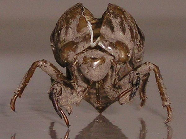 A cicada shell thumbnail