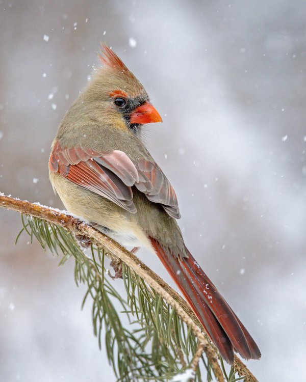 Female Cardinal in the Snow thumbnail