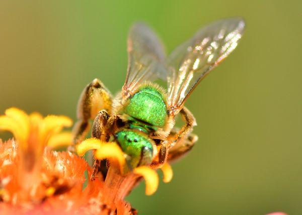 metallic green bee thumbnail
