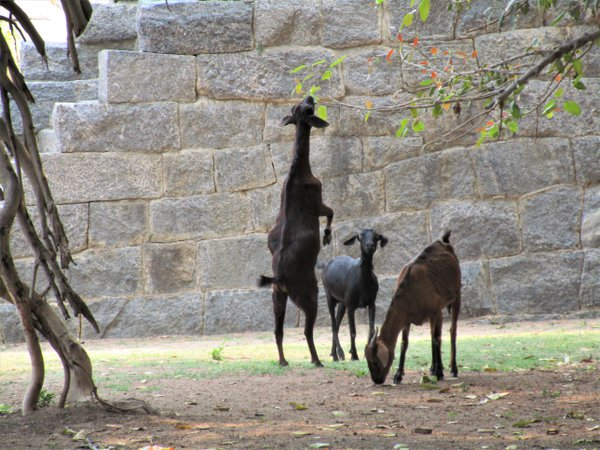 A goat standing on two legs! thumbnail