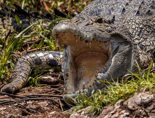 Scary and enormous crocodile mouth thumbnail