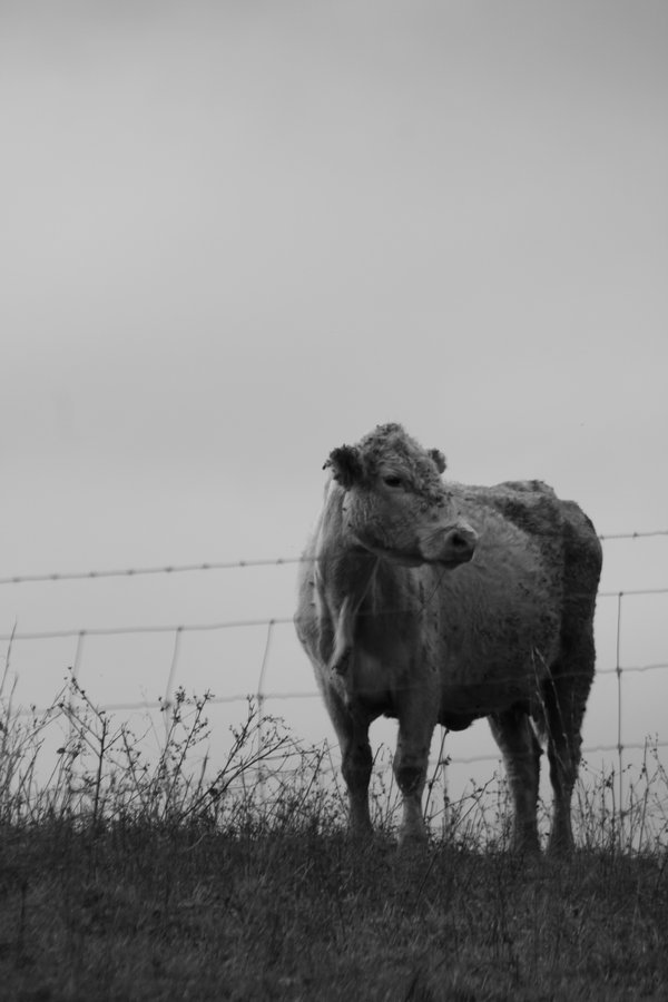 Lone Cow On The Hill thumbnail