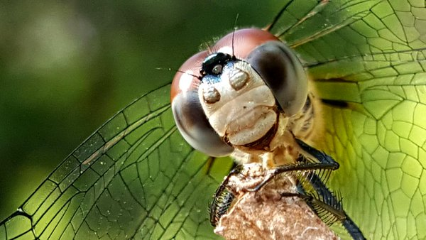 """""""I Want To Play"""" - Dragonfly Poses & Smiles for the Photographer thumbnail"""