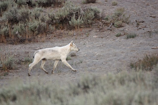 Young wolf prancing through Yellowstone thumbnail