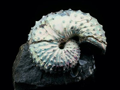 White-colored, fossil ammonite laying horizontally on top of a rock with a black background