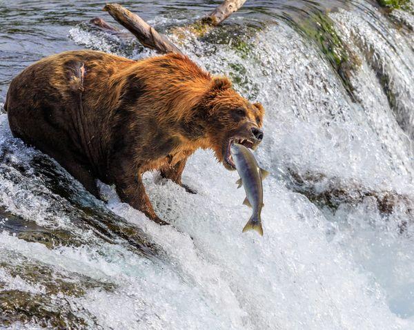 Katmai Brown Bear Making the Perfect Catch thumbnail