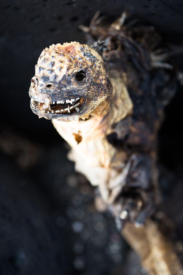Marine iguana corpse thumbnail