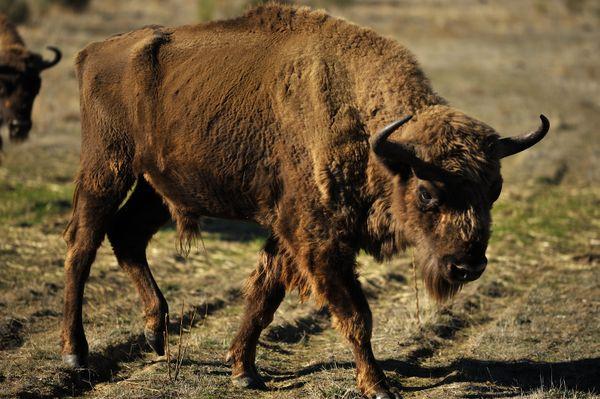 Recovering European bison thumbnail