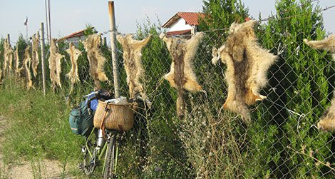 Red foxes get no love in Bulgaria.