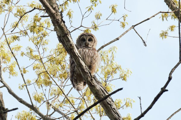 Barred Owl on an early morning walk with my wife in the local park. thumbnail