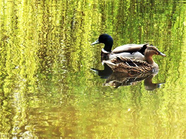 Ducks traveling in opposite directions. thumbnail