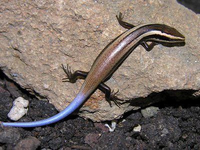The Anguilla Bank skink, a Caribbean species discovered along with 23 others in 2012, is vulnerable to extinction.