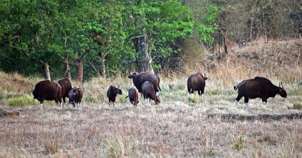 THE TIGER AND A HERD OF GAUR thumbnail
