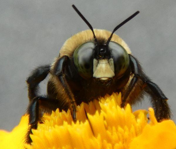 Angry bee thumbnail