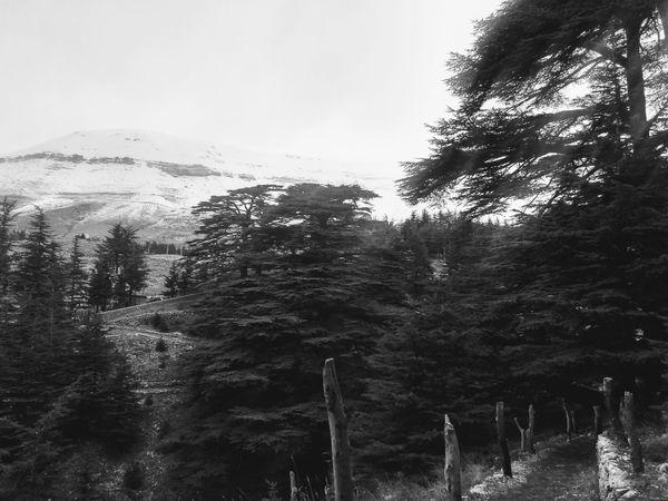 Cedars Of God in Lebanon thumbnail