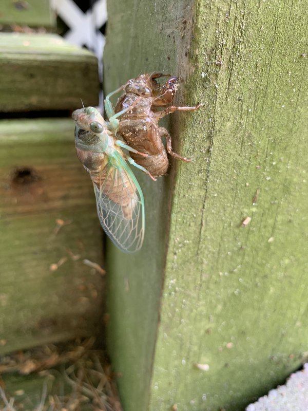 Rebirth of North American cicada.  thumbnail